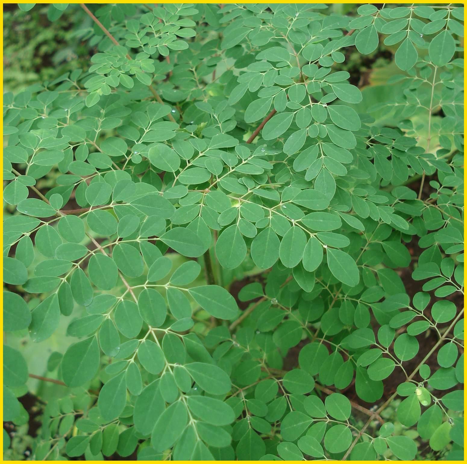 Kelor atau Moringa Oleifera ini memiliki beragam manfaat, mulai dari